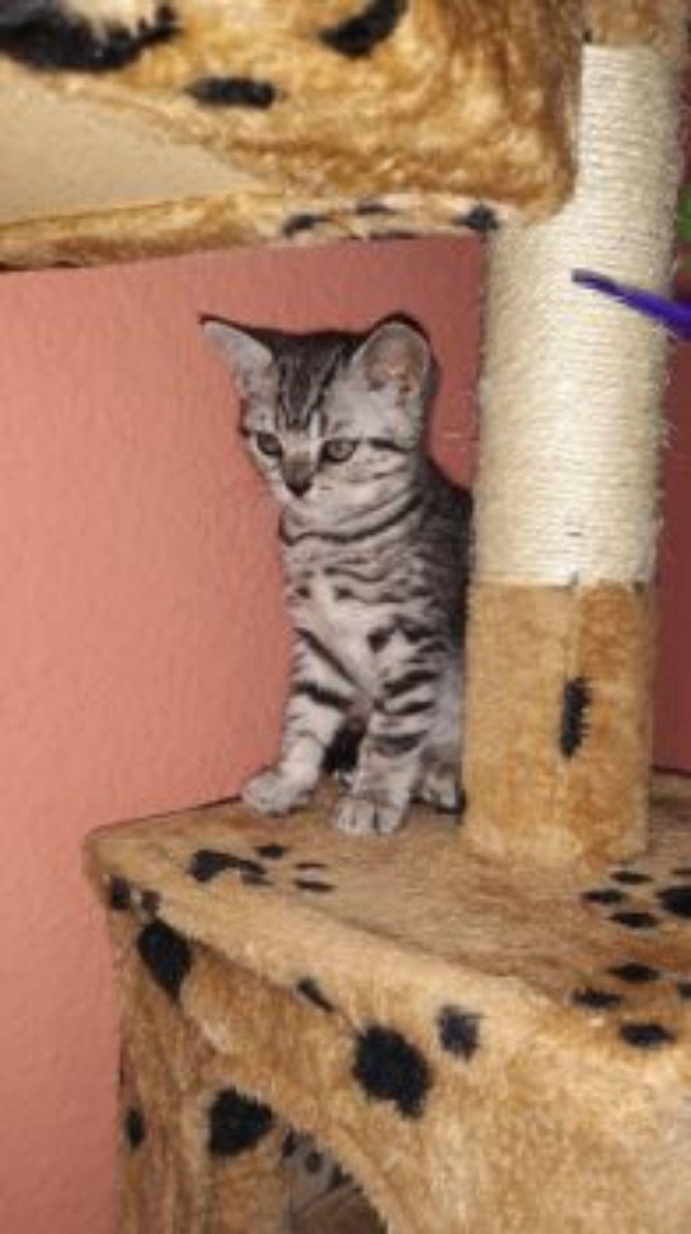 Vand pisicute British Shorthair Silver Tabby - imagine 7
