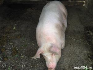 Vând porc. - imagine 1
