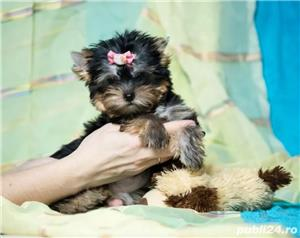 Yorkshire Terrier de Top, talie Teacup pentru Pretentiosi - imagine 1