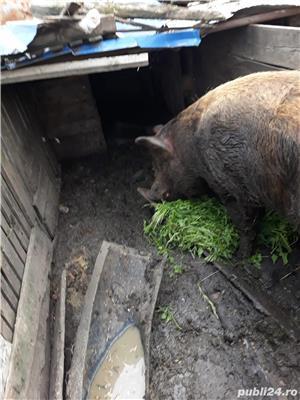 Porc de 400 kg pret 7 lei hg - imagine 2