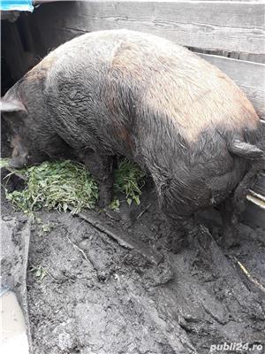 Porc de 400 kg pret 7 lei hg - imagine 1