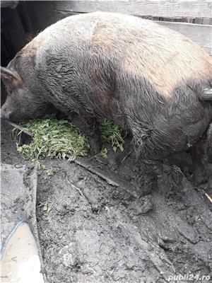 Porc de 400 kg pret 7 lei hg - imagine 3