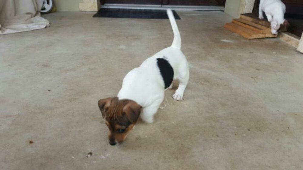Pui Jack Russel Terrier - imagine 3