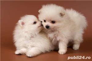 vand pui Pomeranian alb  - imagine 1