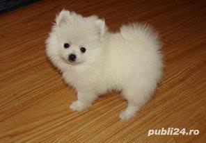 vand pui Pomeranian alb  - imagine 2