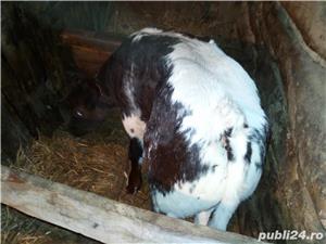 Vand vaca si vitel - imagine 12