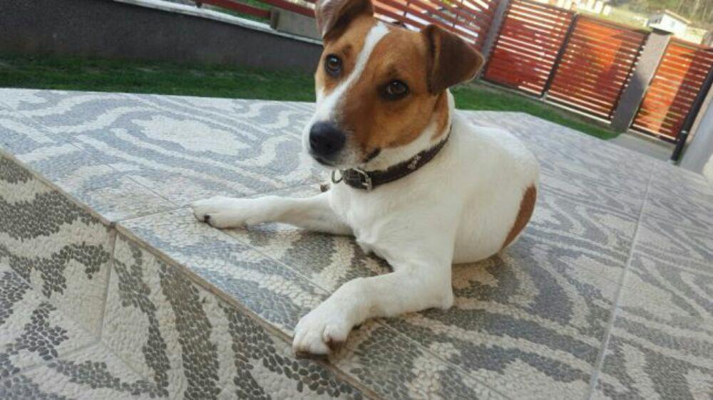 Pui Jack Russel Terrier - imagine 4