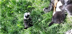 Ciobanesc Australian  - imagine 1