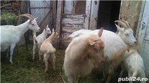 Vând capre și iezi  - imagine 4