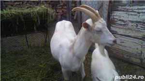 Vând capre și iezi  - imagine 6