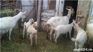 Vând capre și iezi  - imagine 5