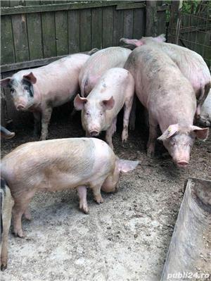 Porci de carne 60/130kg - imagine 5