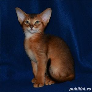 vand pisici abisiniene bucuresti constanta iasi oradea - imagine 2
