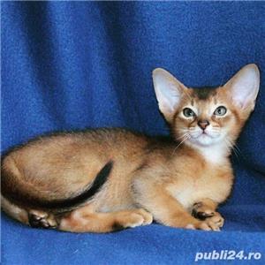 vand pisici abisiniene bucuresti constanta iasi oradea - imagine 1