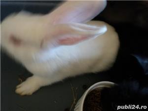Vand iepuri pitici Pitesti  - imagine 1