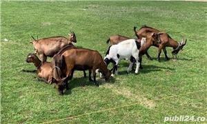 capre si oi diferite rase - imagine 3