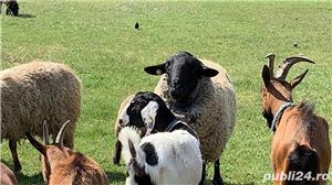 capre si oi diferite rase - imagine 2