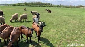 capre si oi diferite rase - imagine 1