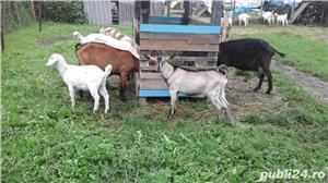 capre de rasă  - imagine 17