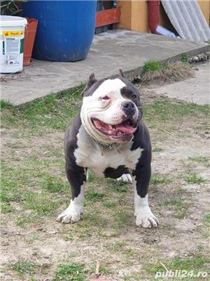 American bully pochet cu pedigree Ebck.  - imagine 5