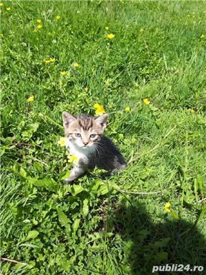 Adopție pisici - imagine 9
