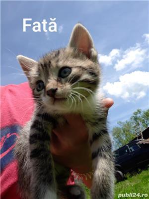 Adopție pisici - imagine 7