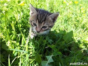 Adopție pisici - imagine 8