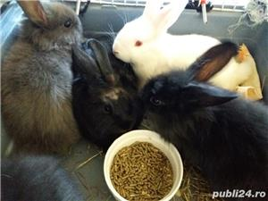 Vand iepuri pitici Pitesti  - imagine 4