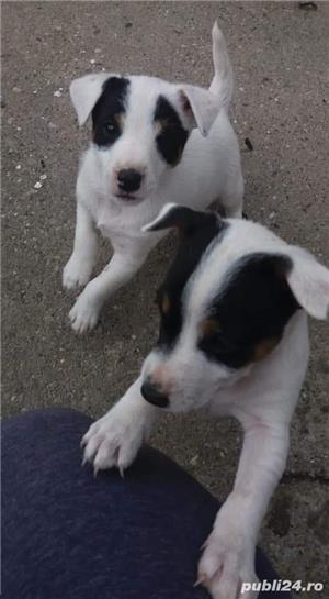 Jack russel terrier - imagine 2