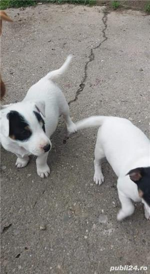 Jack russel terrier - imagine 1