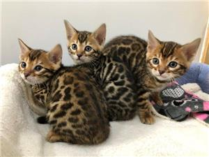 Pisici adorabile  Bengal - imagine 2