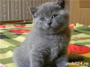 pisicute british shorthair bucuresti brasov cluj constanta  - imagine 1