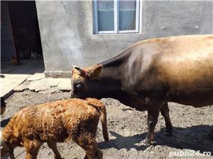 Vand vaca plus vitica  - imagine 2