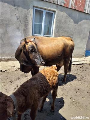 Vand vaca plus vitica  - imagine 3