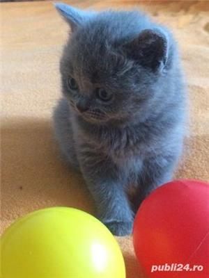 Pisicute british shorthair! - imagine 2