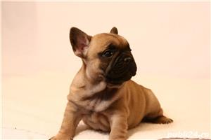catelusi bulldog francez de vanzare bucuresti brasov iasi titmisoara galati - imagine 2