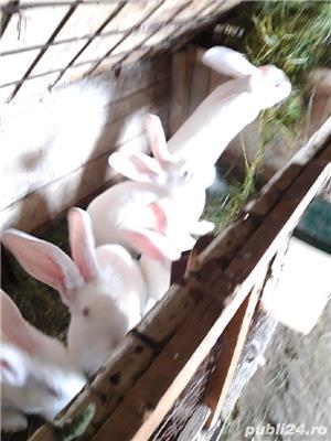 Vînd iepurii haycol  - imagine 4