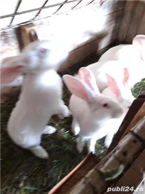 Vînd iepurii haycol  - imagine 1