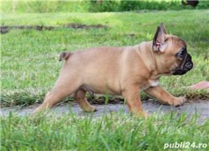 bulldog francez bej super calitate - imagine 4