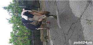 Vaci cu vitei de vanzare - imagine 7