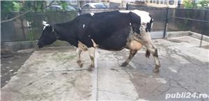 Vaci cu vitei de vanzare - imagine 5