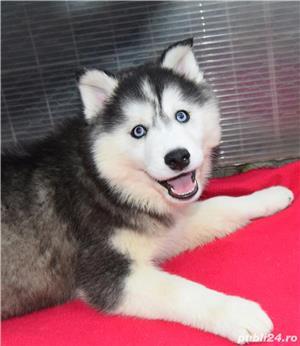 Husky Siberian pedigree A - imagine 3