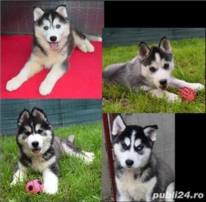 Husky Siberian pedigree A - imagine 2