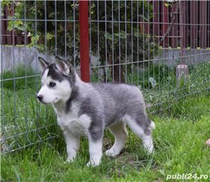 Husky Siberian pedigree A - imagine 5