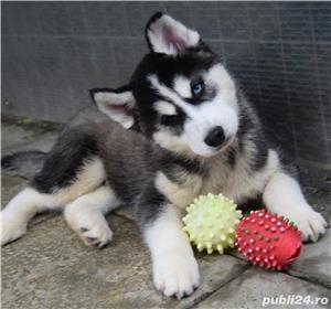Husky Siberian pedigree A - imagine 4