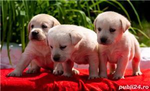Labrador Retriever negrii și galbeni  - imagine 1