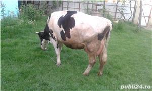 Vacă de vânzare - imagine 2
