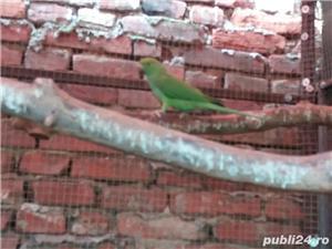 Vand Papagali - imagine 5