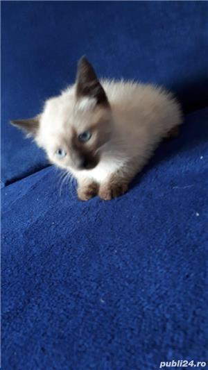 Vand pui pisica siameza - imagine 7