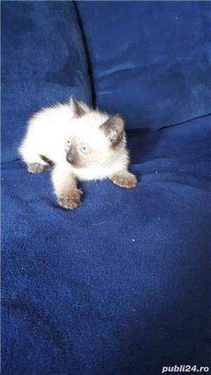 Vand pui pisica siameza - imagine 6